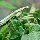 mantis-camuflada